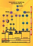 Schema der Blutzellreifung als PDF (ca. 3 MB)